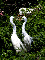 Great Egrets, HAS Smith Oaks