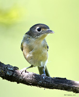 Young Black-capped Vireo