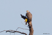 Prairie Falcon with Meadowlark
