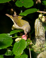 Tennessee Warbler, Smith Oaks
