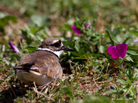 Killdeer Parent