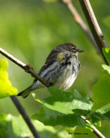 Yellow-rumped Warber, Boy Scout Woods