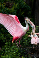 Roseate Spoonbill and Chicks