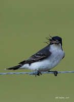 Eastern Kingbird with Cricket