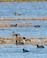 Pintail and Cinnamon Teal