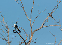 Swallow-tailed Kite (left) and Mississippi Kite (right)