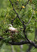 Scissortailed Flycatcher on nest