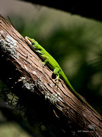 Green Anole, HAS Smith Oaks