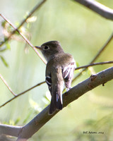 Least Flycatcher?
