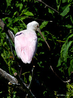 Roseate Spoonbill, HAS Smith Oaks