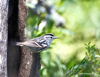 Black and White Warbler, Tuna Rd, Bolivar Peninsula