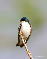 Tree Swallow, Red Slough