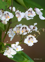 Catalpa Flower