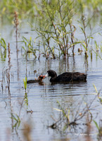 American Coot with chick
