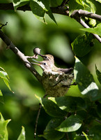 Hummingbird chicks, 2 or 3 days before fledging