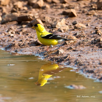 03-American Goldfinch