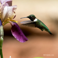 05-Ruby-throated Hummingbird