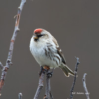 11-Common Redpoll