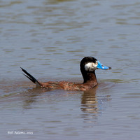 12-Ruddy Duck