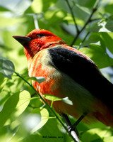 Scarlet Tanager, Smith Oaks