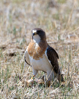 Swainson's Hawk with Pocket Gopher