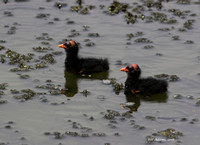 Common Gallinule Chicks