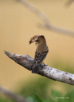 Female Blue Grosbeak with nesting material
