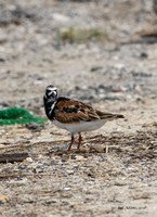 Ruddy Turnstone, Bolivar Peninsula