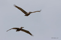 Brown Pelicans, Bolivar Peninsula