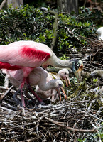 Roseate Spoonbill & Chicks