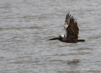 Brown Pelican, Bolivar Peninsula