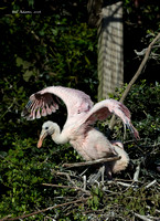Roseate Spoonbill Chicks