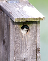 Tree Swallow in nest box, Red Slough