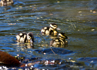 Black-bellied Whistling Duck Chicks