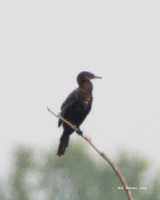 Neotropic Cormorant, Red Slough