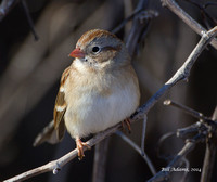 016 - Field Sparrow, Taylor Lake
