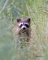 Raccoon, Red Slough