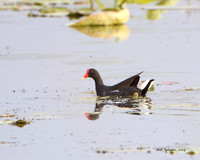 Common Gallinule, Red Slough