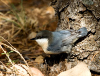 Pygmy Nuthatch at the Grand Canyon