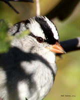 Cropped picture of the White-crowned Sparrow.