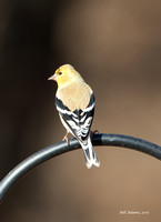 Jones, OK - Evening Grosbeaks