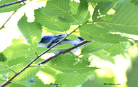Cerulean Warbler, this was a hard one to get a pic of. He was directly above us.