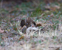House Sparrow Fight