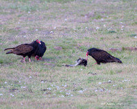 Turkey Vultures with skunk