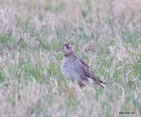 Is this an Upland Sandpiper?  It's eye doesn't look big enough.