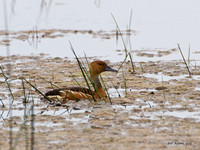 Fulvous Whistling Duck, Anahuac NWR