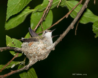 Chickasha Hummingbirds 07-25-14