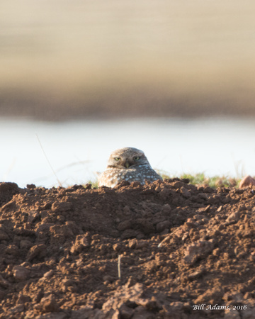 Burrowing Owl on E1880 West of Hwy 54