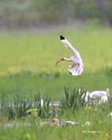 White Ibis, Red Slough