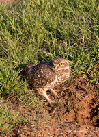 Burrowing Owl on Hwy 54